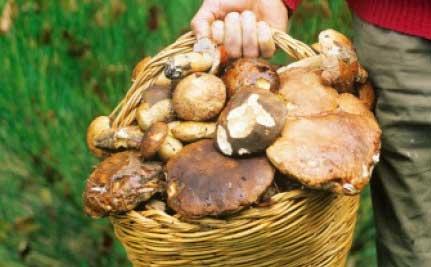 recetas hongos de pino frescos